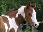 Summer - Paint horse