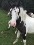 Barad - Männlich Paint horse (2 Jahre)