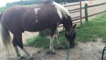 Smores - Männlich Paint horse (5 Jahre)