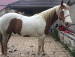 championhorse12 - Paint horse (11 Jahre)