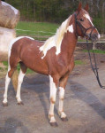Sunny - Männlich Paint horse (2 Jahre)