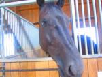 My Horse - Männlich Hanoveraner (12 Jahre)