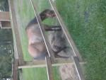 Ember - Quarter Horse (6 Monate)