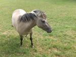 - - Przewalski-Pferd