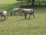 -- - Przewalski-Pferd