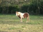 ottawa - Shetland Pony