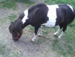 Tarty - Männlich Shetland Pony (10 Jahre)