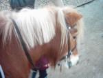 polly - Shetland Pony (6 Monate)