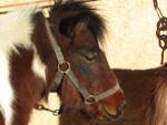 Vitamine - Shetland Pony