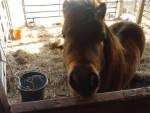 Brownie - Männlich Shetland Pony (5 Jahre)