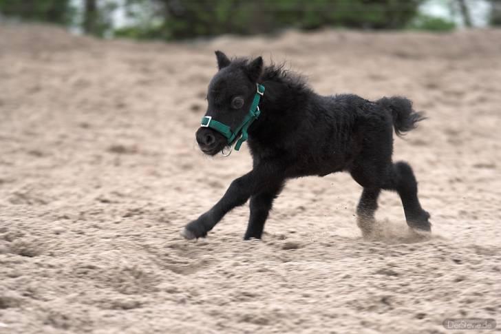 Lissy Shetland Pony Pony