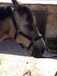 mikmak - Männlich Connemara Pony (14 Jahre)