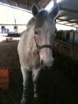RockField Laura - Connemara Pony (11 Jahre)