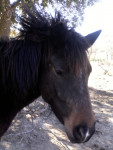 Uplae-Boom - Connemara Pony (5 Jahre)