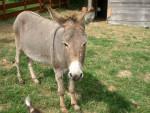 Grisette - Esel (15 Jahre)