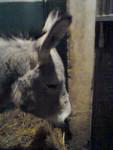Chonchon - Männlich Esel