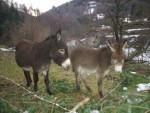 Ânesse et bébé - Schwarzer Esel