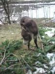 Ânon - Männlich Schwarzer Esel (3 Monate)