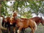 Poney des Landes -