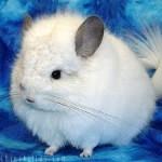 Chinchilla Snowball - Weiblich (11 Monate)