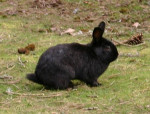Black Beauty - Männlich Hase (Andere)
