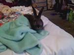 mi conejo Teitei - Männlich Hase (1 Jahr)