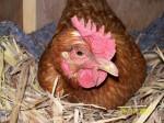 Cumquat - Huhn (2 Jahre)