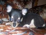 Little Rosie - Hund (1 Monat)