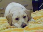 alice pense (labrador) - Hund