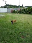 Hund berger Malinois chiot -  (0 Monate)