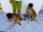 Hund Zya et Rex Malinois -  (0 Monate)