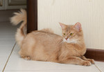 Un chat Somali couleur crème aux yeux jaunes
