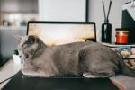 Un Bleu Russe allongé de tout son long sur un clavier d'ordinateur