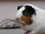Praline - Meerschwein (4 Jahre)