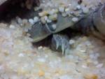 griffe de biscuit sa fait mal =) - Männlich Schildkröte (1 Jahr)